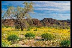DSC6966-Desert-Sunflowers-web