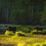 Mother-and-Calf-Moose