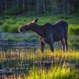 Moose-Closeup