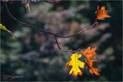 Backlit-Oak-Leaves