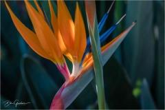 DSC0862-Bird-of-Paradise-web
