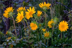 DSC0348-Balsamroot-Group-web