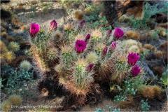 DSC7092-Hedgehog-Cactus-web