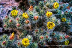 DSC7111-Cholla-Cactus-Bloom-web